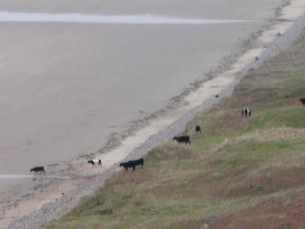 ..., dass die Kühe ...