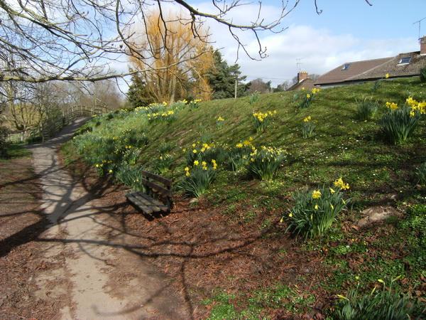 Überall Narzissen, die Nationalblume von Wales