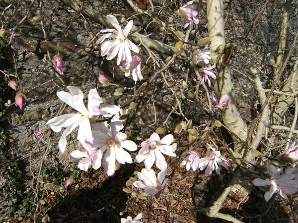 Die ersten Magnolienblüten brechen auf