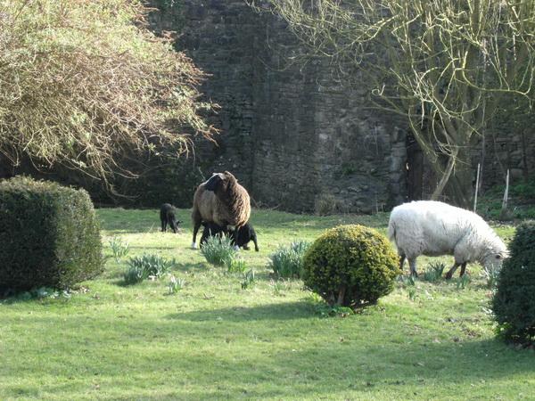 Schafe und Lämmer im Burghof