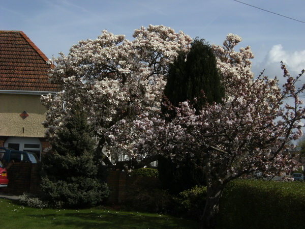 Magnolie in Nachbars Garten