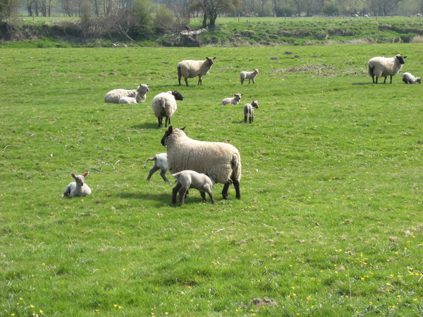 Schafe im Wye-Tal