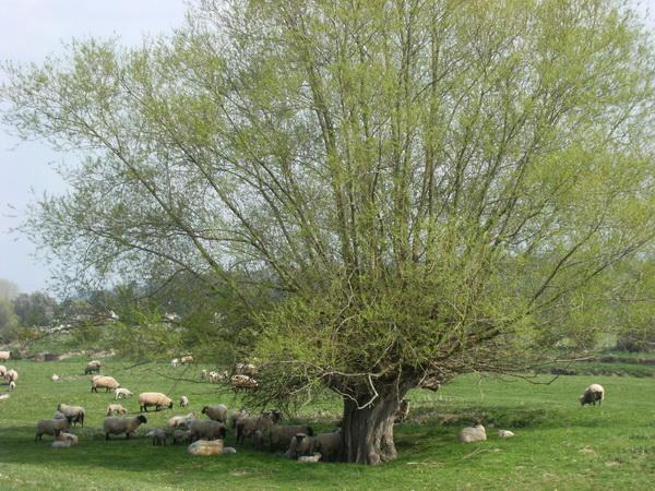 Auf einen Waliser kommen 4 Schafe!