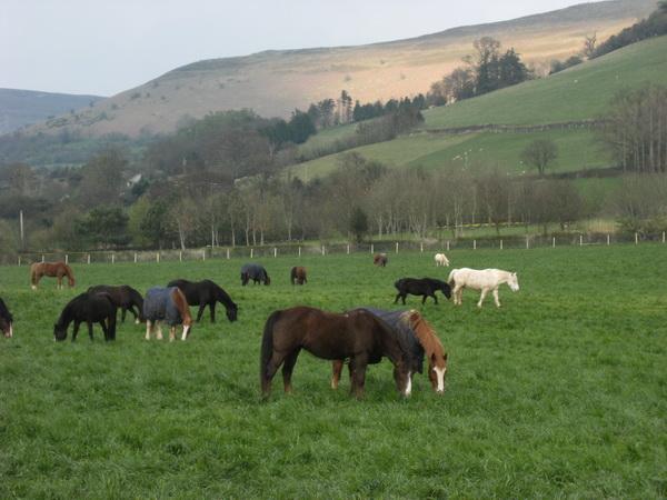 Pferde aue der Weide bei Llangorse