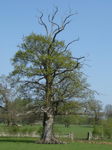 Ein Baum, der sich verjüngt?