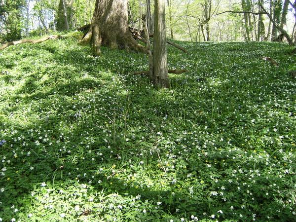 Waldboden mit Anemonen und den ersten Blue Bells