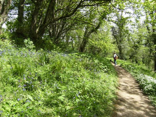 Wanderweg durch einen Wald voller Bluebells