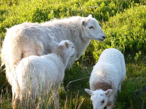 Schafe auf dem Blorenge