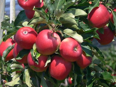 Die ersten Äpfel sind reif