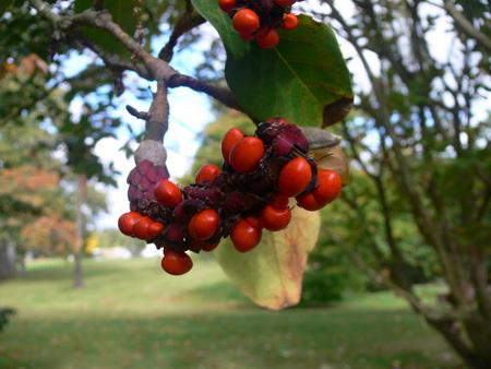 Frucht einer Magnolie