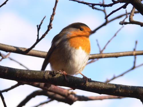 Ein Robin