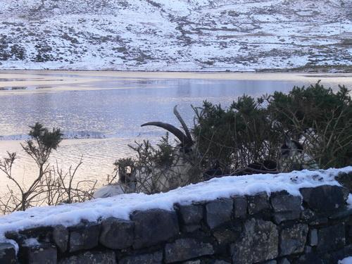 Wilde Bergziegen am Llyn Ogwen