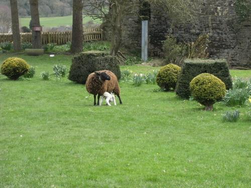 Schafe im Burghof