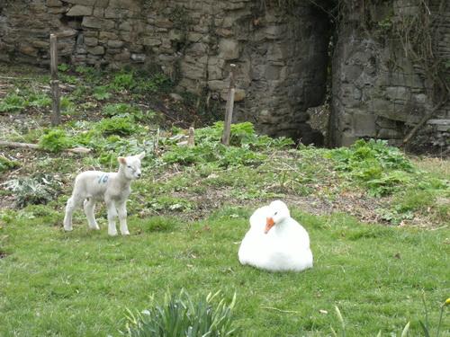 Lamm und Gans im Burghof