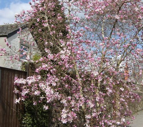 Blühende Magnolie