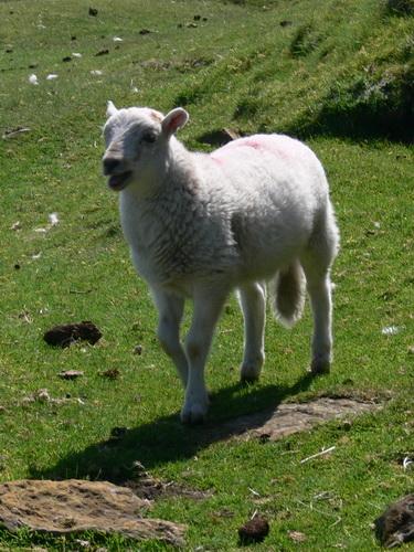 Neugieriges Lamm