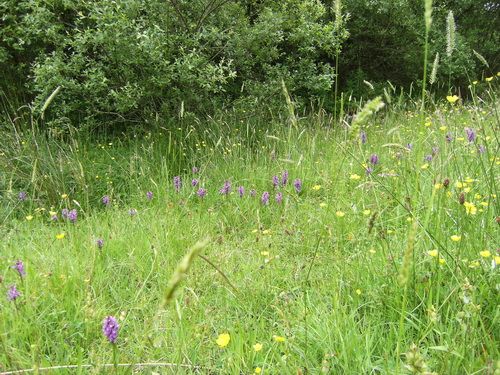 Orchideen-Wiese