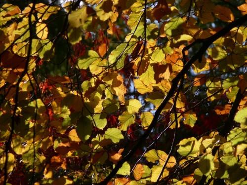 Buche in Herbstfarben