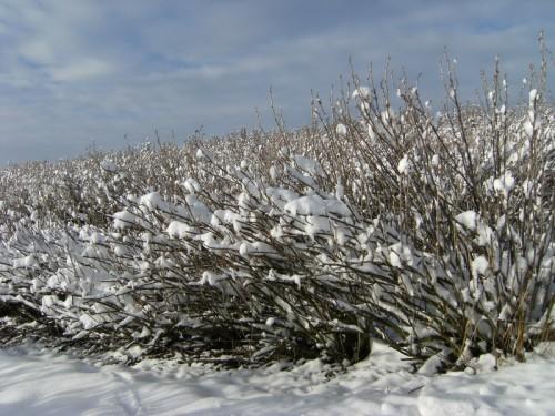 Schwarze Johannisbeeren im Schnee