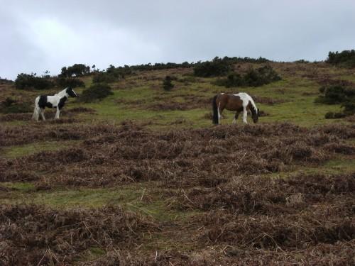 """""""Wild""""pferde auf dem Deri"""