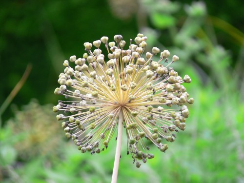 Blüte des Zier-Lauches