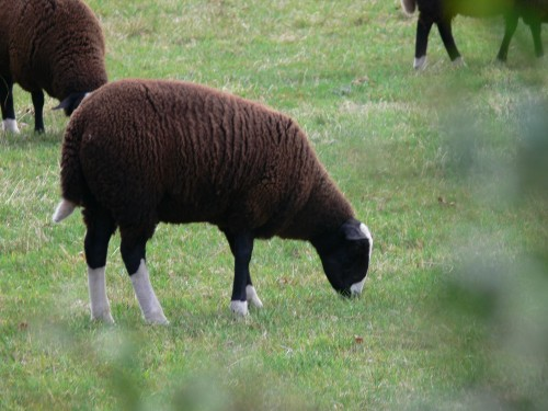 Eine Schafsrasse, die wir noch nicht gesehen hatten