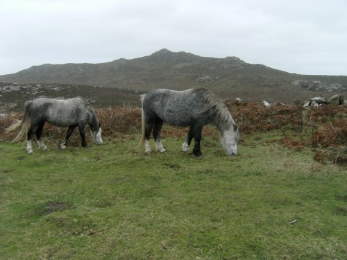 Welsh Mountain Ponys